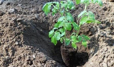 Посадка помідор у відкритий грунт - Як садити помідори Відео