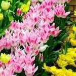 Посадка тюльпанів навесні у відкритий грунт