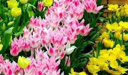 Посадка тюльпанів навесні в грунт - коли садити тюльпанчики