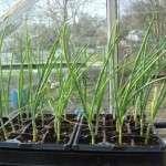 Вирощування розсади цибулі з насіння — як виростити розсаду цибулі з насіння