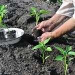 Висадка розсади у відкритий грунт — коли висаджувати розсаду за посівним календарем