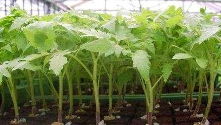 Як підготувати насіння помідор до висадки для розсади - підготовка насіння томатів до посіву на розсаду