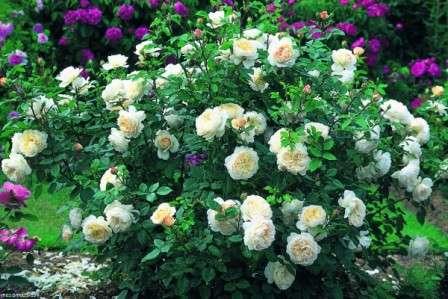 Догляд за трояндами у відкритому грунті відео