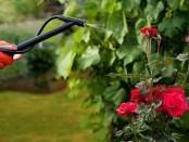 Догляд за розами весною - у відкритому грунті відео