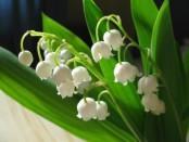 Фото квітів конвалії - Лісова конвалія фото та опис квітки
