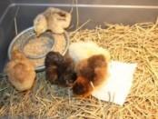 Птахівництво, кури, бройлери, курчата, як годувати бройлерів, як вирощувати бройлерів, чім годувати курчат бройлерів, вирощування бройлерів в домашніх умовах, годування курчат бройлерів.
