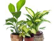Найкращі добрива для кімнатних квітів - органічні, мінеральні...