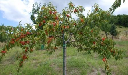Відео:Обрізка персика весною та, як обрізати дерева персиків