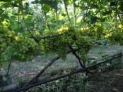 Підживлення винограду навесні: чим підгодувати, удобряти (добрива)