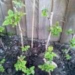 Основи догляду та правильна посадка малини весною