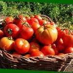 Висадка розсади помідорів у відкритий ґрунт за місячним календарем