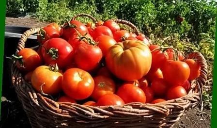 Висадка розсади помідорів у відкритий ґрунт- коли висаджувати розсаду томатів
