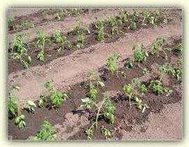vusadka-rozsadu-pomidoriv-grynt-2