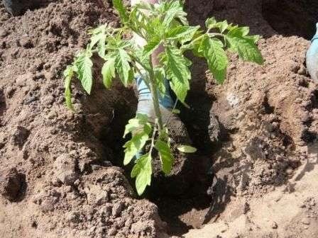 vusadka-rozsadu-pomidoriv-grynt-3