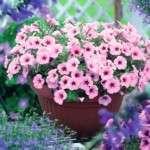 Вирощування петунії з насіння в домашніх умовах: посадка, догляд, сорти