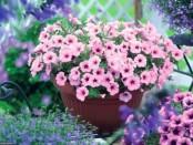 Вирощування петунії в домашніх умовах - як виростити розсаду