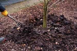Як посадити саджанці плодових дерев в саду навесні та осінню