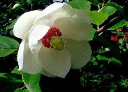 Magnolia-sieboldii