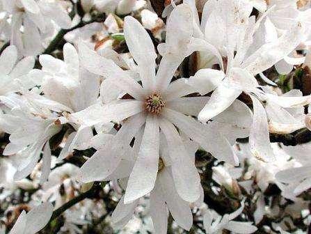 Magnolia_stellata_zvezdchataya