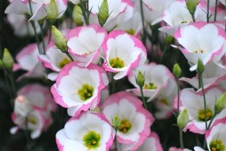 eystoma-vyroshhyvannya-v-domashnih-ymovah-5
