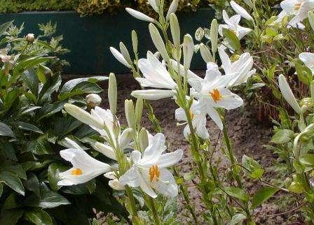 lilii-posadka-i-doglyad-na-dachi-svoimi-rykami-5