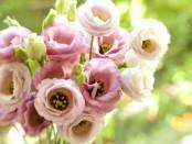 Гірська троянда (Лізіантус): вирощування, догляд та розмноження