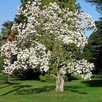 magnolia-denudata-ogolenaya
