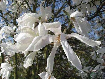magnolia-ivolistnaya
