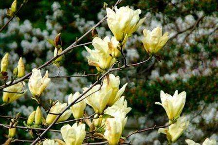 magnolia-yellow-river