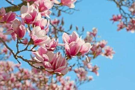 magnoliya-doglyad-ta-vyroshhyvannya-v-domachnih-ymovah