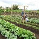 Метод вирощування овочів по Міттлайдеру — технологія і вдосконалення