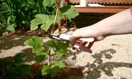 Обрізка смородини весною - відео: Як обрізати смородину навесні