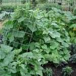Пасинкування огірків у відкритому ґрунті. Відеоінструкція