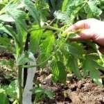 Пасинкування помідор у відкритому ґрунті. Відео