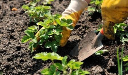 Посадка полуниці навесні - Як правильно садити клубнику весною