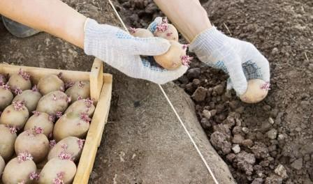Посівний календар посадки картоплі на 2018 рік в Україні