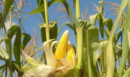 Технологія вирощування кукурудзи.Відео посіву в Україні