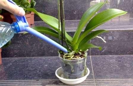 yak-poluvatu-orhidei-v-domashnih-ymovah-1