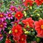 Жоржини однорічні — вирощування з насіння. Коли садити?