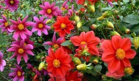 Квіти жоржини однорічні - вирощування з насіння. фото