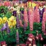 Фото багаторічних квітів для клумб з назвами