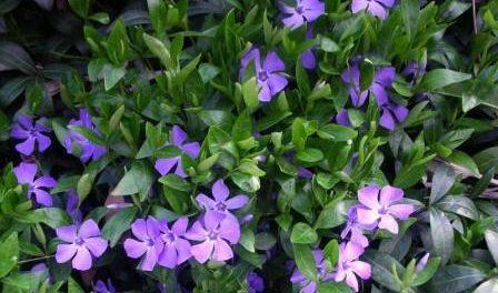 Квітка Барвінок: Фото, опис рослини та особливості вирощування