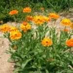 Квітка Календула — вирощування з насіння у відкритому ґрунті