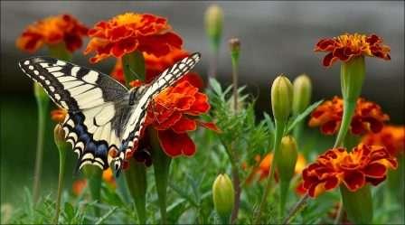 Квіти чорнобривці - посадка і догляд. Фото та опис квітки