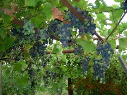 vinograd-izabella-posadka-i-doglyd-1