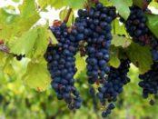 Виноград Ізабелла - посадка і догляд
