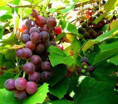 vinograd-izabella-posadka-i-doglyd-2