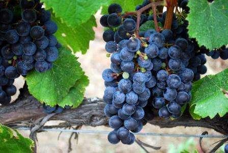 vinograd-izabella-posadka-i-doglyd-3