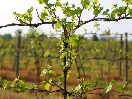vinograd-izabella-posadka-i-doglyd-7