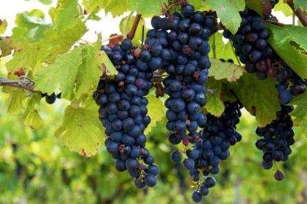 vinograd-izabella-posadka-i-doglyd